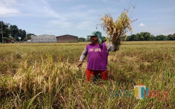 Petani di Kecamatan Gudo, Jombang saat memanen padi di musim panen raya, Selasa (23/03). (Foto : Adi Rosul / JombangTIMES)