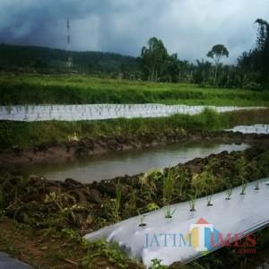 Petani di Lumajang Keluhkan Distribusi Pupuk Bersubsidi