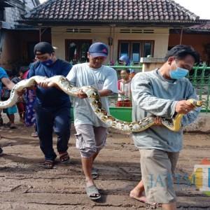 Penemuan Ular Sanca Sepanjang 4 Meter Gegerkan Warga, Terjadi Saat Banjir Melanda