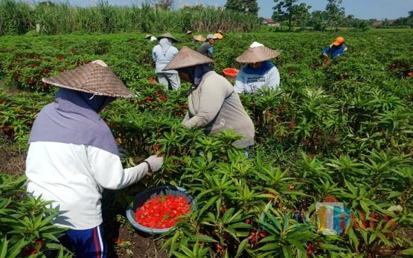 Proses memanen bunga pacar air di Desa Dukuhklopo, Kecamatan Peterongan, Jombang. (Foto : Adi Rosul / JombangTIMES)
