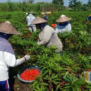 Berkah Ramadan, Petani Bunga Pacar Air di Jombang Hasilkan Rp 20 Juta dalam Sepekan
