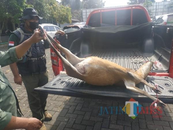 Kijang betina yang diduga hamil tewas saat diburu di kawasan hutan dekat Coban Rondo, Kota Batu, (Senin 12/4/2021) (foto: Mariano Gale)