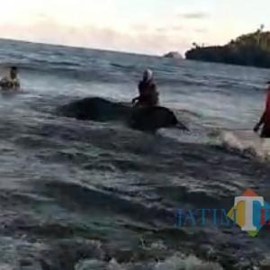 Hiu Seberat 4 Ton Terdampar di Pantai Bayem Tulungagung