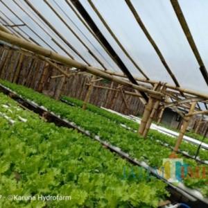 Hidroponik Jadi Alternatif Makanan Sehat di Lumajang