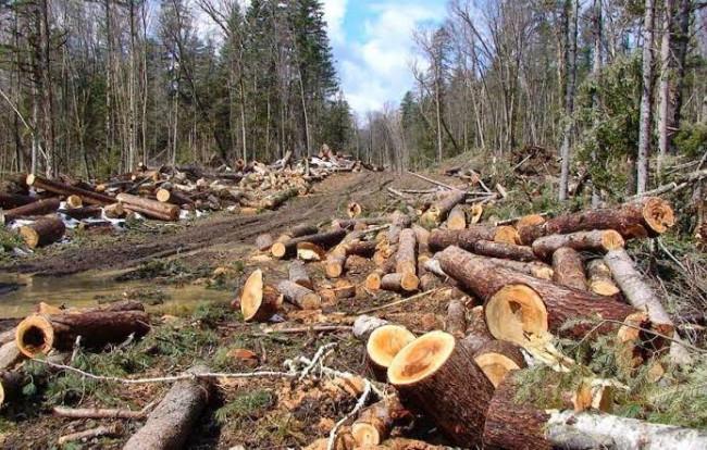 Ilustrasi penebangan liar di hutan. (Foto: lampungmediaonline.com)