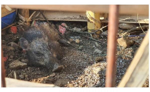 Penangkapan Babi Ngepet (Foto: Liputan 6)