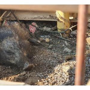 Viral Video Penangkapan Babi Ngepet di Sawangan, Begini Faktanya