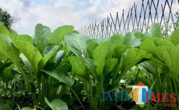 Tanaman sayur sawi hijau di kawasan Kota Batu. (Foto: Irsya Richa/MalangTIMES)