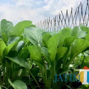 Harga Sayur-mayur di Kota Batu Anjlok, Sawi Cuma Rp 1.000