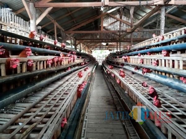 Peternakan ayam petelur rumahan yang ada di Desa Ngadilangkung Kepanjen. (Fery Arifiansyah/MalangTIMES)