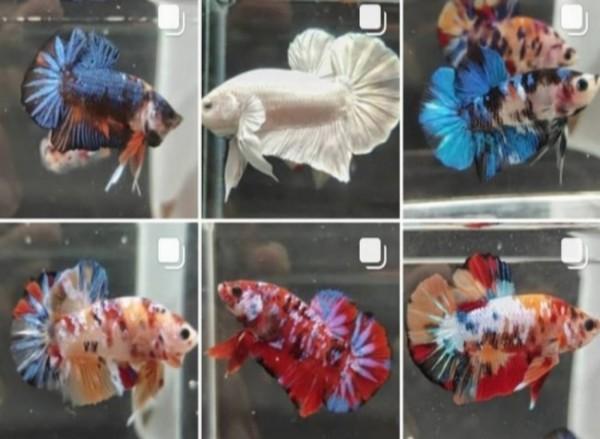 Ikan cupang dengan apakah corak warna yang menarik (cupangedanmalang)