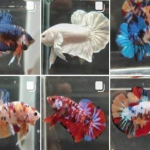 Warna Ikan Cupang Pudar? Awas Bisa Jadi Stres, Begini Cara Mengatasinya