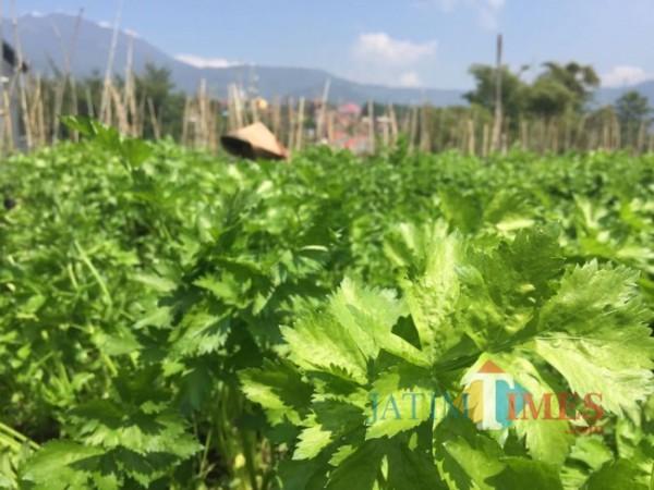 Petani saat melakukan perawatan pada sayur seledri di Kota Batu. (Foto: Irsya Richa/MalangTIMES)