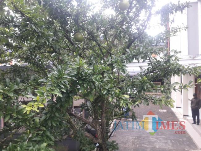 Tampak Pohon Mojo.
