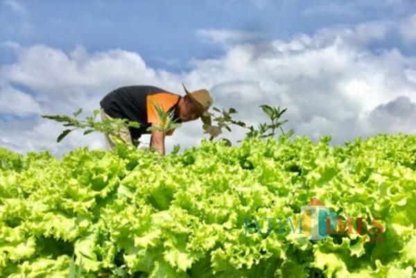 Petani saat merawat sayur andewi di Kelurahan Temas. (Foto: Irsya Richa/MalangTIMES)