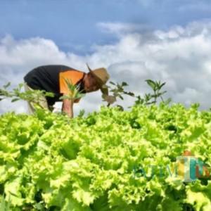 Terus Merosot, Harga Sayur di Tingkat Petani Kota Batu Serba Seribu