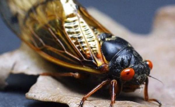 Serangga Cicada (Foto: MLive.com)