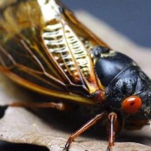 Diklaim Lebih Enak dari Udang, Serangga Cicada akan Jadi Makanan Populer di Masa Mendatang?
