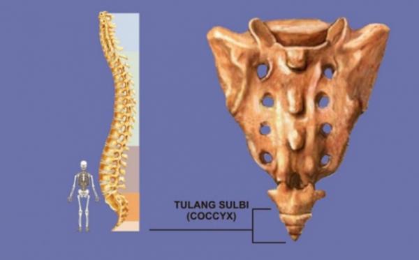 Tulang ekor manusia (Ist)
