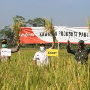 Varietas Padi Suppadi dari Desa Padang, Bisa Tembus 12 Ton per Hektar