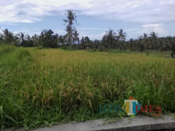 Sawah milik warga  di wilayah Glagah Banyuwangi. (Nurhadi/Jatim TIMES)