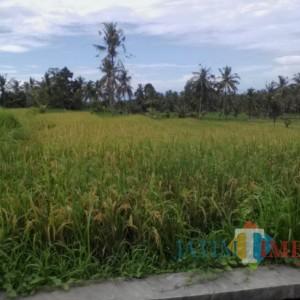 Disesuaikan dengan Pusat, Lahan Pertanian Pangan Berkelanjutan Banyuwangi Belum Diperdakan