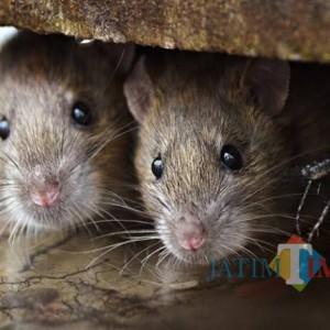 Leptospirosis Menyerang, Warga Bondowoso Diimbau Jaga Kebersihan