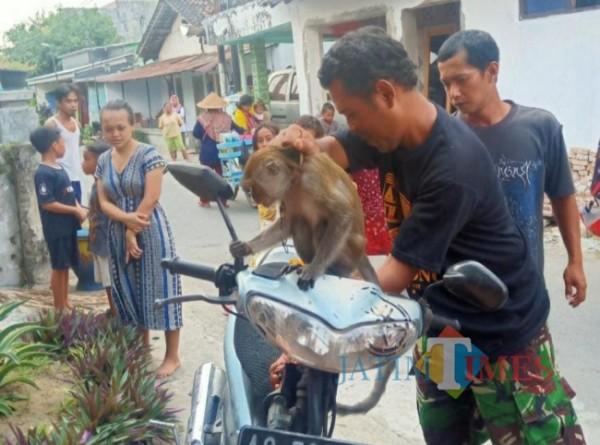 Monyet liar ditangkap warga.(eko arif s/jatimtimes)