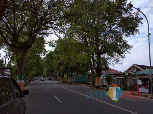 Pohon Asem yang ada di Jalan A. Yani Lumajang (Foto : Moch. R. Abdul Fatah / JatimTimes)