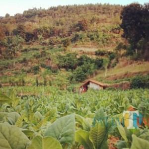 Masa Tanam, Petani Tembakau Dapat Bantuan Jutaan Bibit Dari Pemkab Sumenep