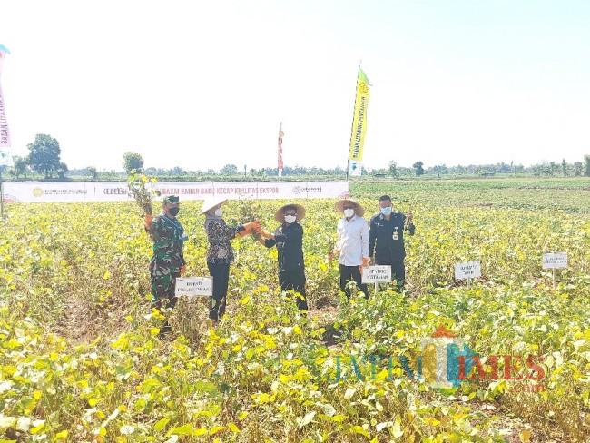 Menteri Pertanian RI Syahrul Yasin Limpo saat memanen kacang kedelai untuk produksi kecap ekspor.
