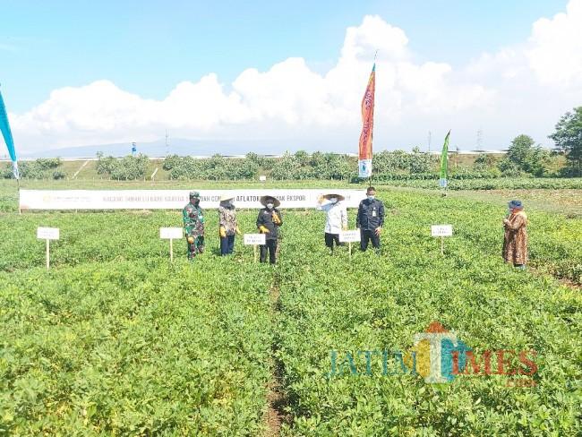 Menteri Pertanian RI Syahrul Yasin Limpo saat memanen kacang tanah Garuda 5.