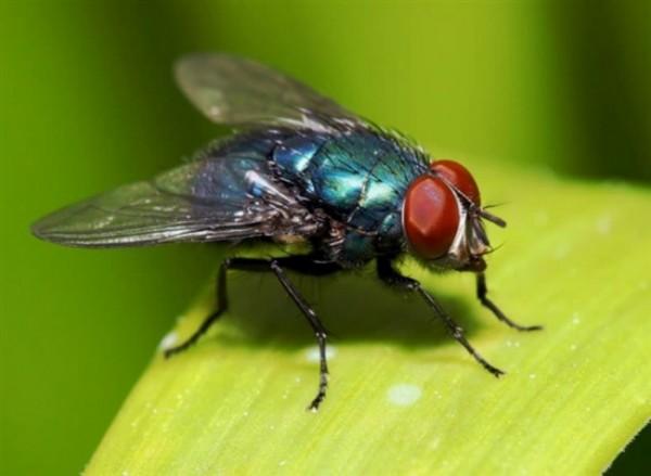 Ilustrasi lalat yang hinggap pada makanan (istimewa)