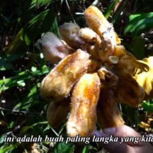 Buah Sangat Langka Ditemukan di Hutan Indonesia, Belum Ada Nama