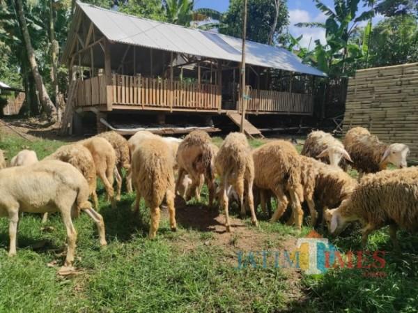Kambing kurban yang dijual warga (Foto: Abror Rosi/JatimTimes)