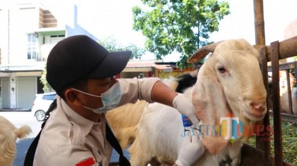 Petugas saat memberikan kartu pada hewan kurban yang dijual di Jl Dewi Sartika, Kelurahan Temas, Kecamatan Batu, Selasa (13/7/2021). (Foto: Irsya Richa/ MalangTIMES)