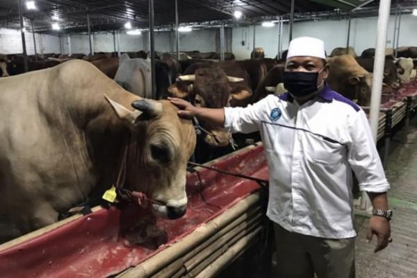 Ilustrasi sapi yang akan dikurbankan pada momentum Hari Raya Idul Adha. (Foto: Kompas.com)