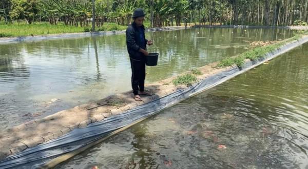 Robbi Readi saat memberi makan ikan koi miliknya di kolam Pemerintah (Ist)