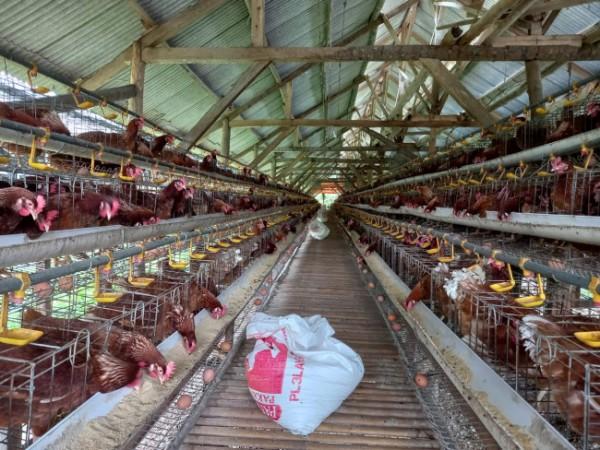Peternakan ayam di kawasan Desa Mendalanwangi(Ist)