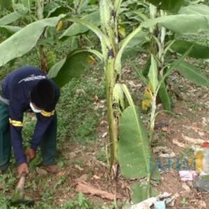 Kembangkan Kreativitas saat Pandemi, Petani di Jember Sulap Eks TPA Jadi Kebun Pisang