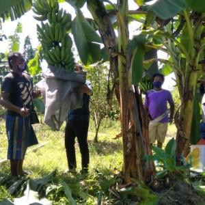 Melihat Nilai Ekonomis Budidaya Pisang Cavendish di Desa Tegalwangi Jember