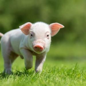 Babi Diciptakan, tapi Mengapa Diharamkan oleh Allah SWT bagi Umat Muslim?