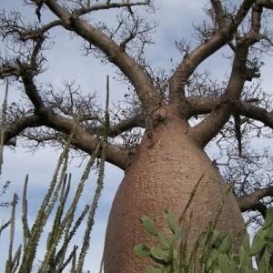 Baobab Bisa Hidup hingga 5 Ribu Tahun, Dipuja Orang Afrika Sebagai Pohon Kehidupan