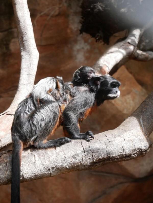 Indukan primata monyet jenis Colobus Monkey di Batu Secret Zoo sedang menggendong anaknya yang baru lahir. (Foto: JTP Group)