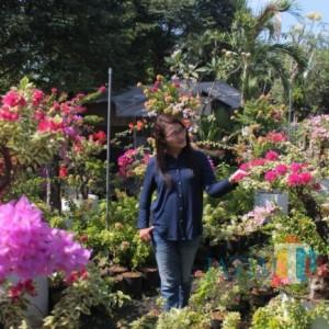 Menikmati Kopi di Tengah Hamparan Indahnya Bunga Bougenville
