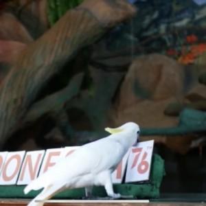 Bikin Gemes, Aksi Lucu si Jono dan Burung Kakatua saat Ikut Rayakan HUT RI ke-76