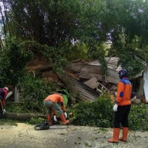Pohon Beringin Besar Tumbang, Timpa Rumah Sekaligus Warung