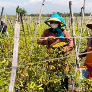 Harga Cabai Rawit Anjlok, Petani Cabai di Kediri Bagikan Cabai Gratis