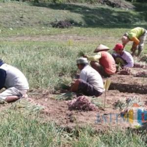 Tangis Petani Bawang Merah di Tulungagung, Harga Murah Bikin Modal Tanam Tak Kembali