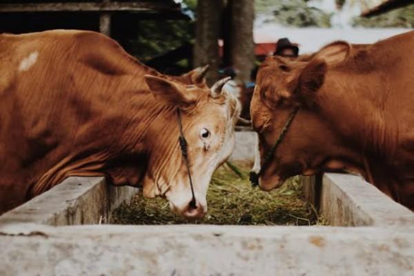 Peternakan sapi (foto: istimewa)